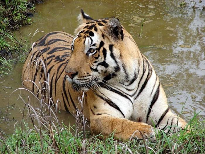 پارک ملی کانا هندوستان عکسهایی چشمنواز و زیبا که بیننده را به بازدید از هندوستان ترغیب میکنند عکسهایی چشمنواز و زیبا که بیننده را به بازدید از هندوستان ترغیب میکنند 10 kanha national park india
