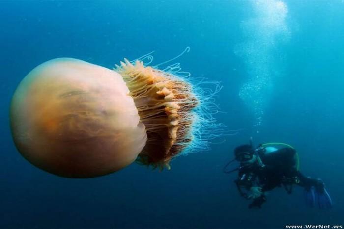 عروس دریایی نومورا ۱۷ غذای خطرناک در دنیا ۱۷ غذای خطرناک در دنیا arose daryaye