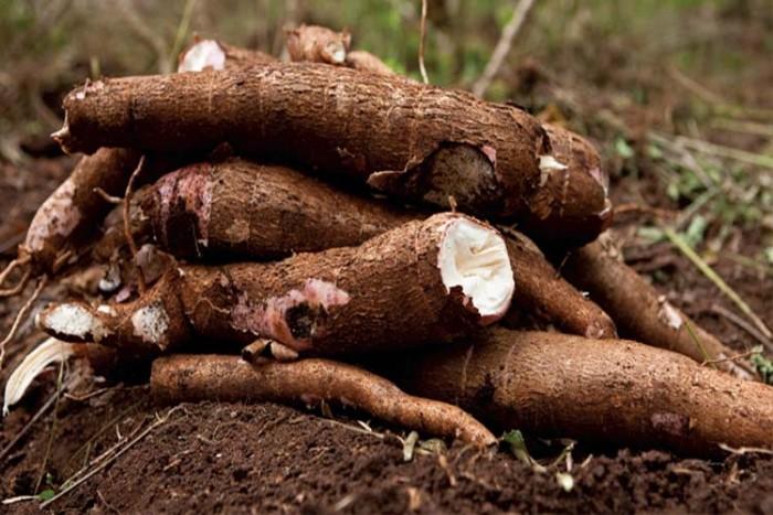 کاساوا ۱۷ غذای خطرناک در دنیا ۱۷ غذای خطرناک در دنیا cassavaa