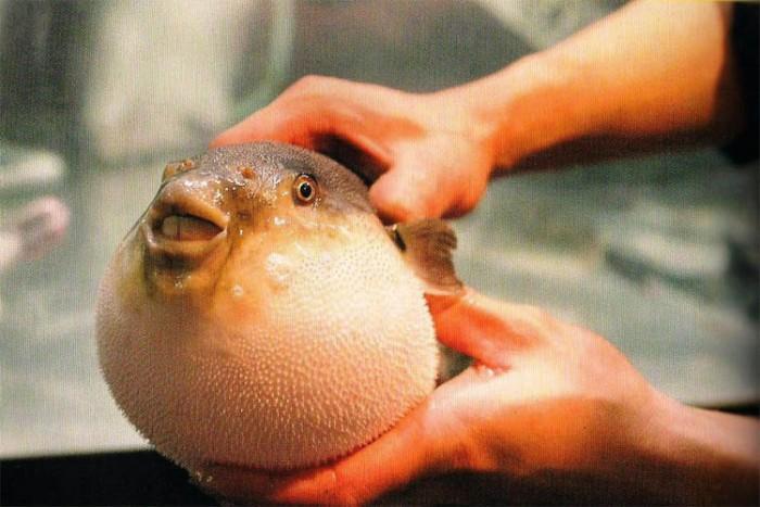 ماهی فوگو ۱۷ غذای خطرناک در دنیا ۱۷ غذای خطرناک در دنیا fogu